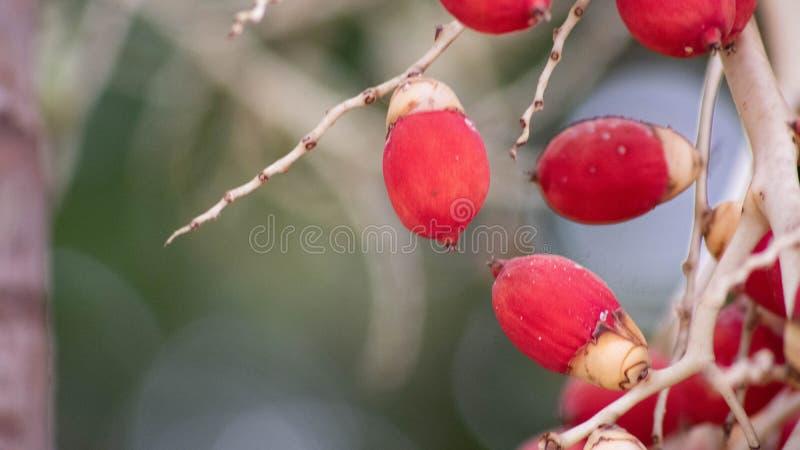 Unique fruit, palm fruit like egg, for easter idea concept design. Beautiful fruit stock photo