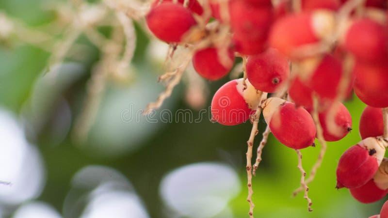 Unique fruit, palm fruit like egg, for easter idea concept design. Beautiful fruit royalty free stock photo