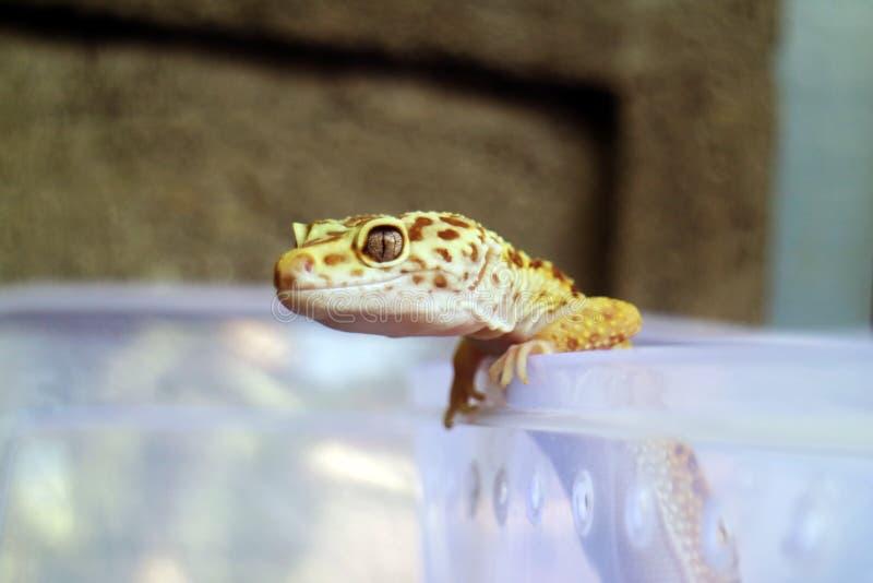 Closeup of Yellow Gecko stock photography