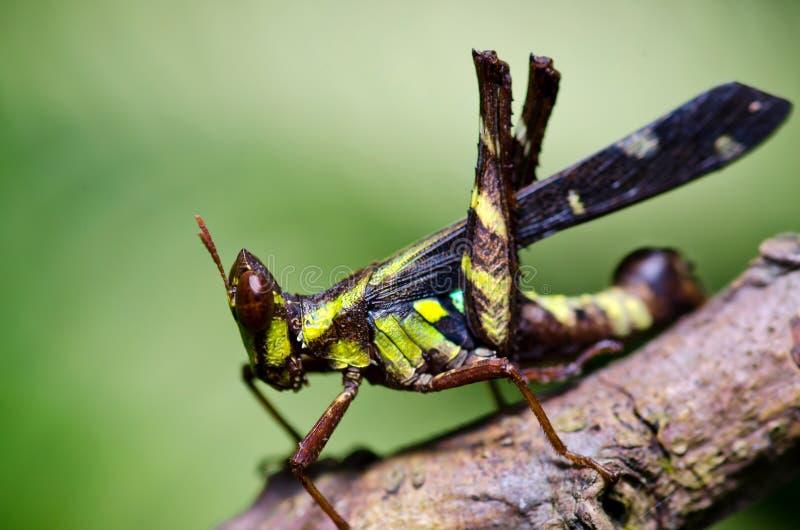 Unique grasshopper