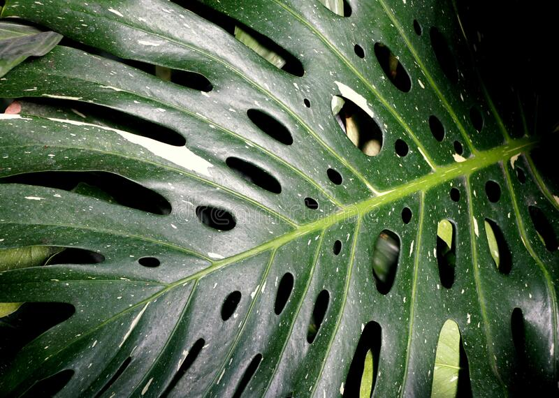 Unique green leaves of Swiss Cheese 'Variegata' tropical plant stock images