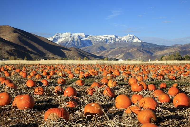 Dramatic golden pumkin field in the Utah mountains, USA. stock photography