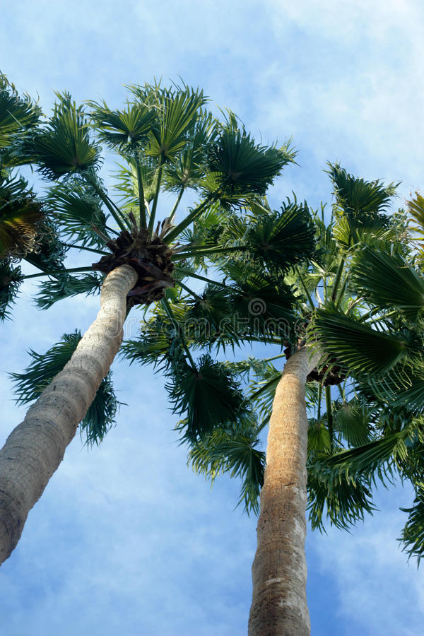 Unique palm tree angled shot royalty free stock photography