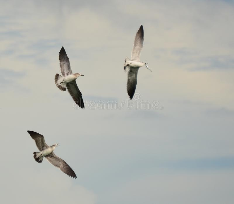 Flock of Seagulls Fight Over Fish royalty free stock photography