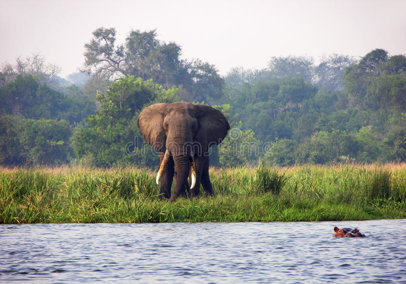 Wild elephant & hippo Nile river Uganda Africa. A unique photograph of two of Africas most loved creatures of its wildlife, the beautiful African elephant and stock image