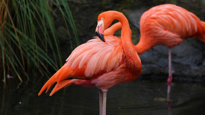 Unique red flamingo in a lake, high definition photo of this wonderful avian in south america. Flamingos in water fishing stock images