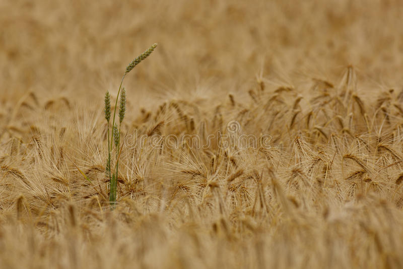 Unique. A single stalk of wheat in a field of barley stock photo