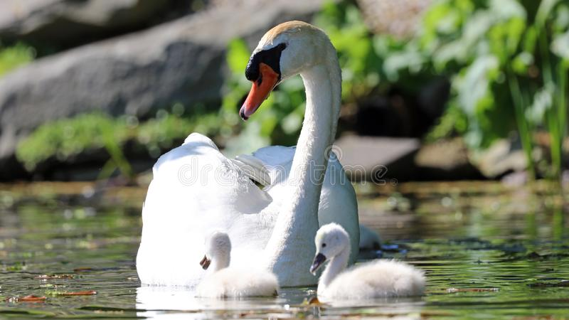 Unique swan with babies in a lake, high definition photo of this wonderful avian in south america. Unique swan with baby cygnets in a lake, high definition royalty free stock images