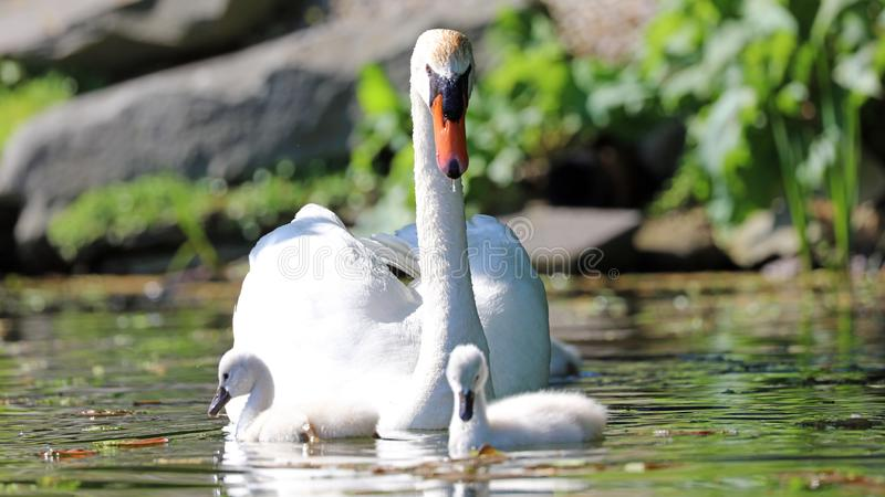 Unique swan with babies in a lake, high definition photo of this wonderful avian in south america. Unique swan with baby cygnets in a lake, high definition stock image