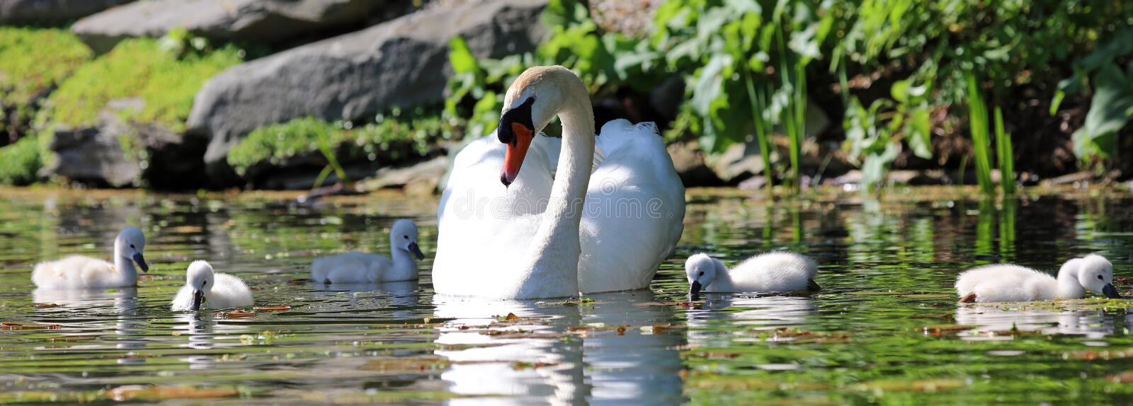 Unique swan with babies in a lake, high definition photo of this wonderful avian in south america. Unique swan with baby cygnets in a lake, high definition stock photos