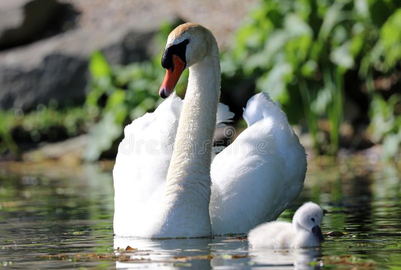 Unique swan with babies in a lake, high definition photo of this wonderful avian in south america. Unique swan with baby cygnets in a lake, high definition stock photography