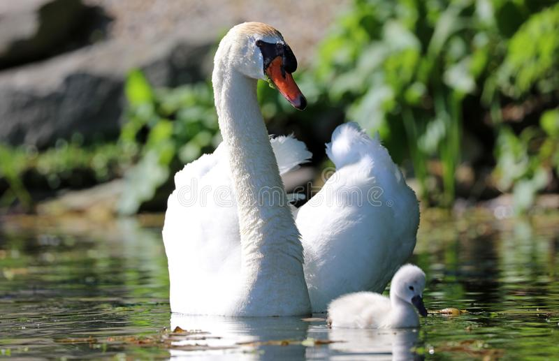 Unique swan with babies in a lake, high definition photo of this wonderful avian in south america. Unique swan with baby cygnets in a lake, high definition royalty free stock photos