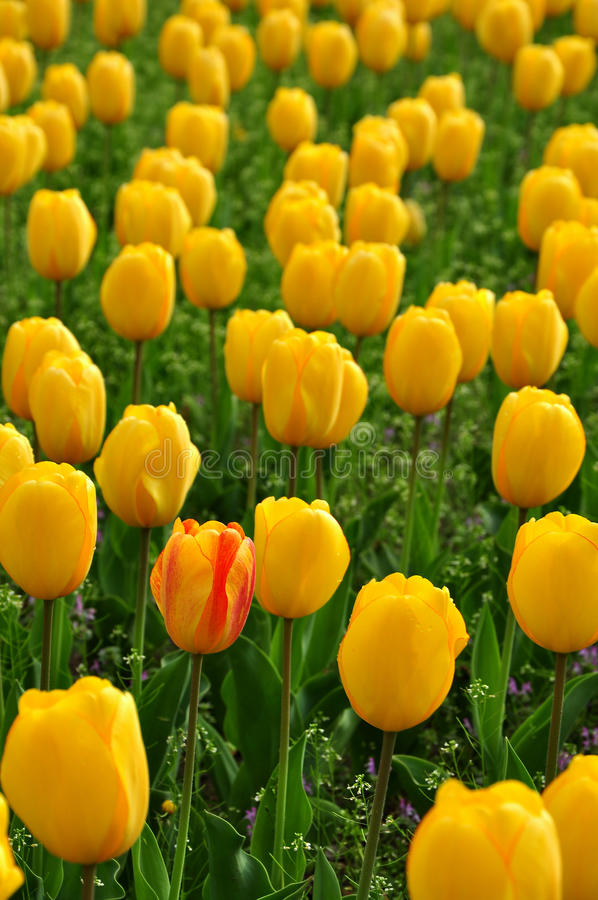 Free Unique Tulip Royalty Free Stock Images - 30569219