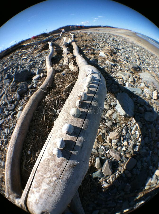 Univalves na Driftwood zdjęcia royalty free