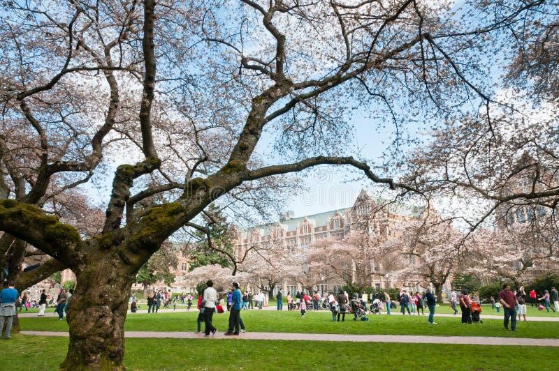 Universidade de árvores de cereja de florescência de Washington foto de stock