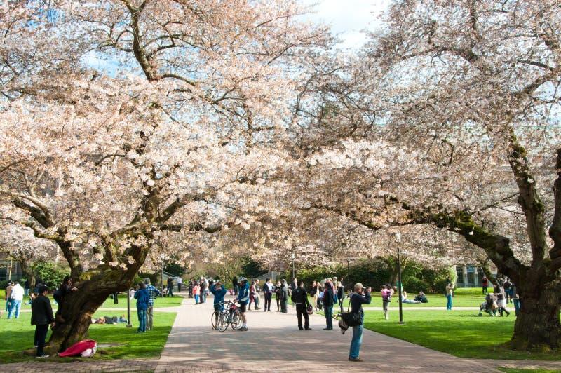 Université des cerisiers de floraison de Washington images libres de droits