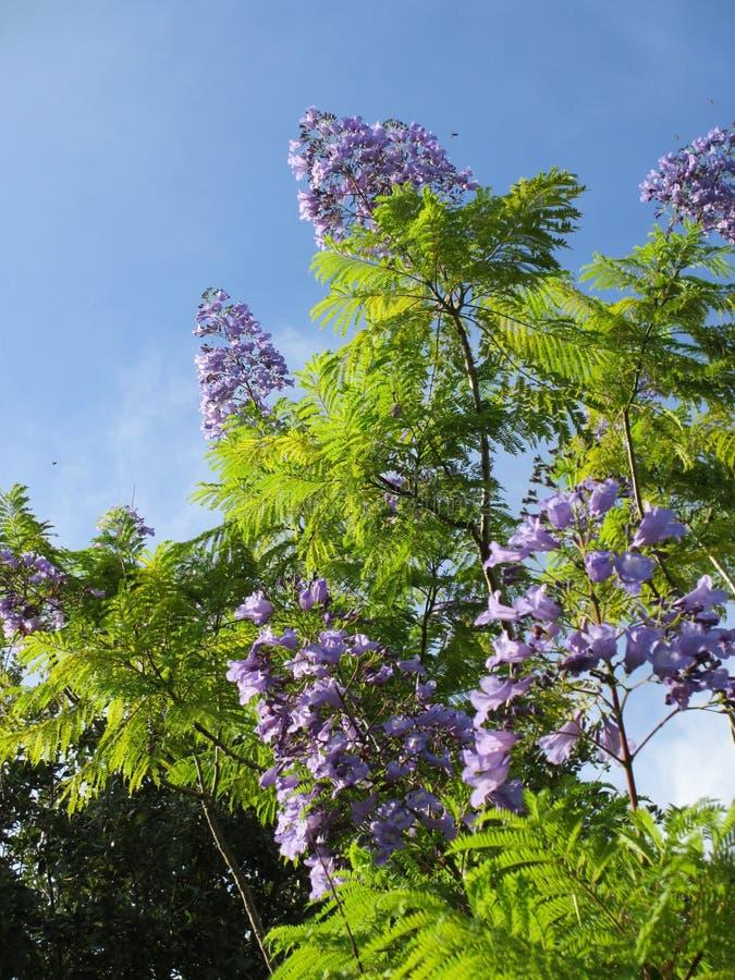 universitetar för jakarandaquadranglesydney tree royaltyfri foto