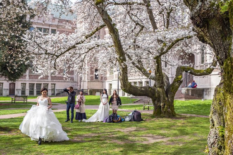 Popular cherry blossoms photography spot at the UW campus in Seattle. University of Washington, Seattle, Washington state, USA - Popular cherry blossoms royalty free stock photos
