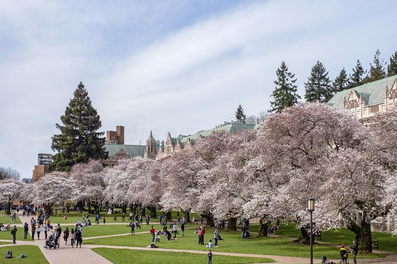 Popular cherry blossoms photography spot at the UW campus in Seattle. University of Washington, Seattle, Washington state, USA - Popular cherry blossoms stock photos