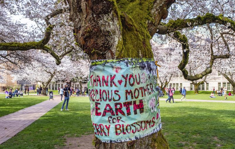 Popular cherry blossoms photography spot at the UW campus in Seattle. University of Washington, Seattle, Washington state, USA - Popular cherry blossoms stock image