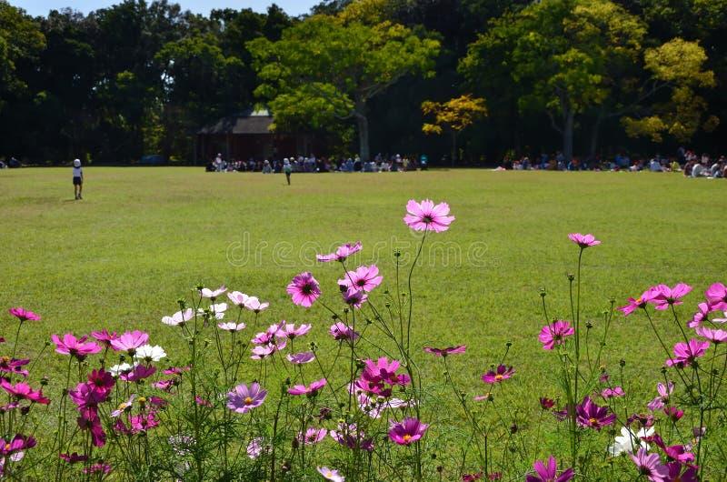 Universo di fioritura ad un parco del prato, Giappone immagini stock