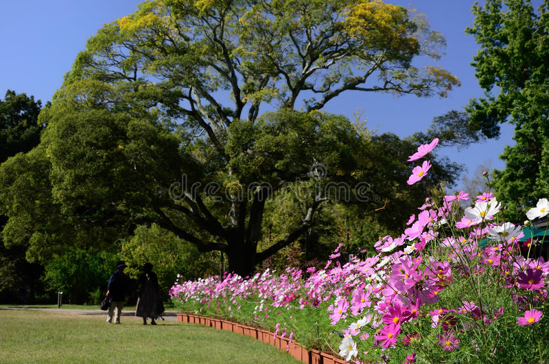 Universo di fioritura ad un parco del prato, Giappone fotografie stock libere da diritti