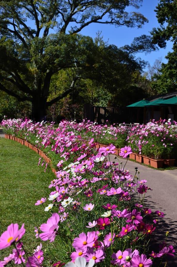 Universo di fioritura ad un parco del prato, Giappone fotografia stock