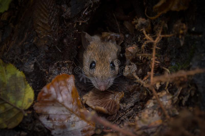 An unknown rodent royalty free stock photography