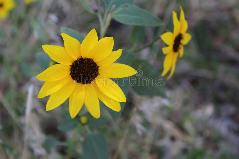 Wild Black Eyed Susan Flower in the Desert Southwest. Two small yellow flowers in the desert southwest United States. Found on a midday walk in Spring. Green stock photos