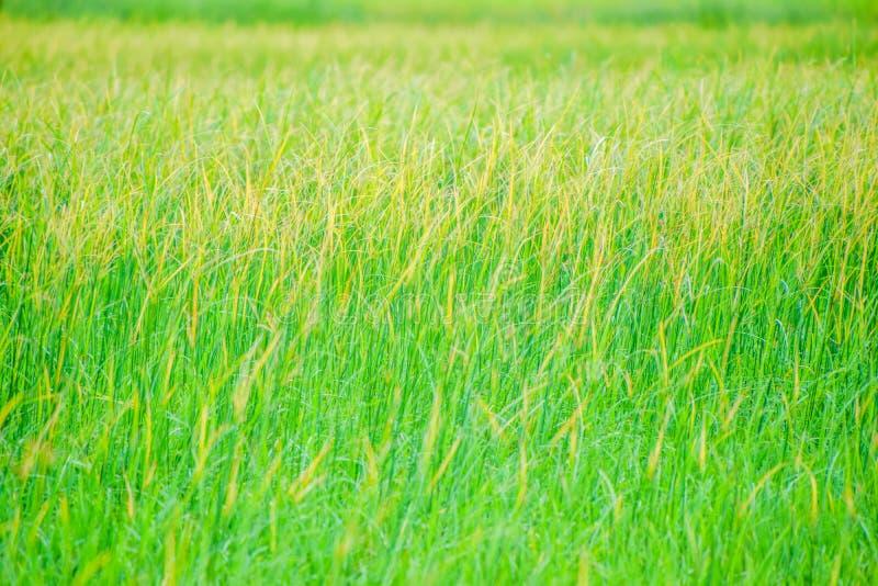 Unkräuter auf den Reisgebieten, gelbes Gras auf den grünen Reisgebieten, die Reispflanze bedeckt mit Unkräutern, die Schönheit de stockfotos
