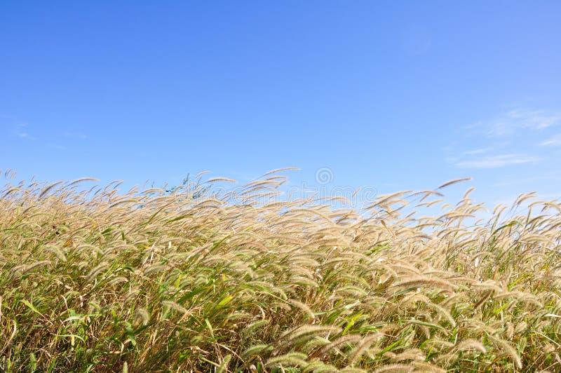 Unkräuter im Herbst mit Hintergrund des blauen Himmels stockfotos
