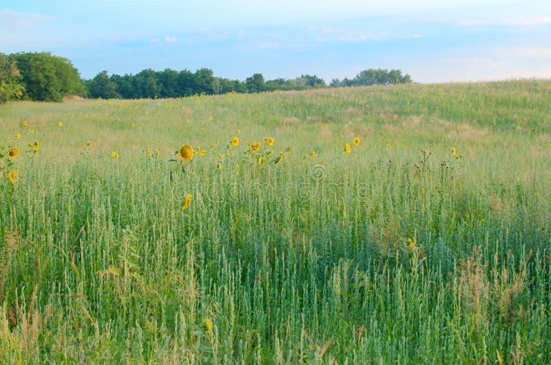 Unkräuter und Sonnenblumen lizenzfreie stockfotografie