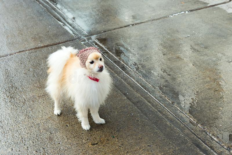 Unleashed white and tan Pomeranian wearing a knit hat. Adorable unleashed white and tan Pomeranian wearing a knit hat and red collar standing on wet sidewalk stock photos