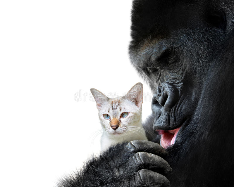 Unlikely animal friends moment, a loving hug between a big gorilla and a small cat royalty free stock photos