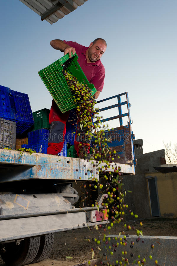 Download Unloading olives stock image. Image of stand, farmer - 22280815