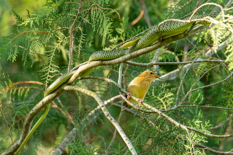 Unlucky juvenile Asian Golden Weaver and a Golden Tree snake are very close to each other stock photo