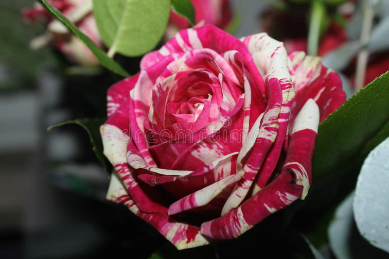 Unnatural artificial colors rose with unusual petal hues. Rose in a garden flower with peculiar petals colors ike painted looks fake but it is not stock image