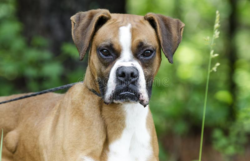 Boxer Dog, pet adoption photography. Unneutered male red and white Boxer dog outdoors on leash. Tumor or cyst on his side. Pet adoption photography for Walton royalty free stock photography