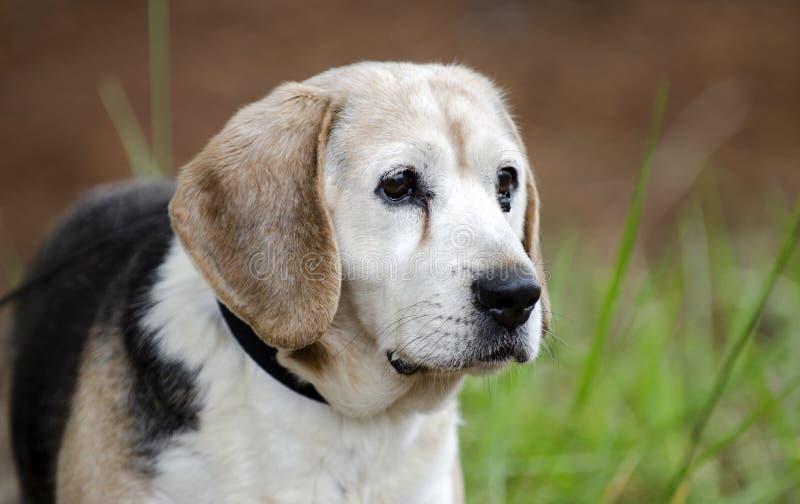 Senior Beagle Dog pet adoption photograph. Unneutered male 12 year old Beagle dog, tri-color, on leash in pine tree woods. Senior dog with small tumor under eye stock images