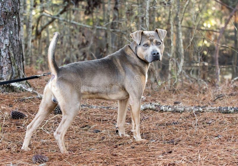 Unneutred manPit Bull Terrier hund utanför på koppeln royaltyfria foton