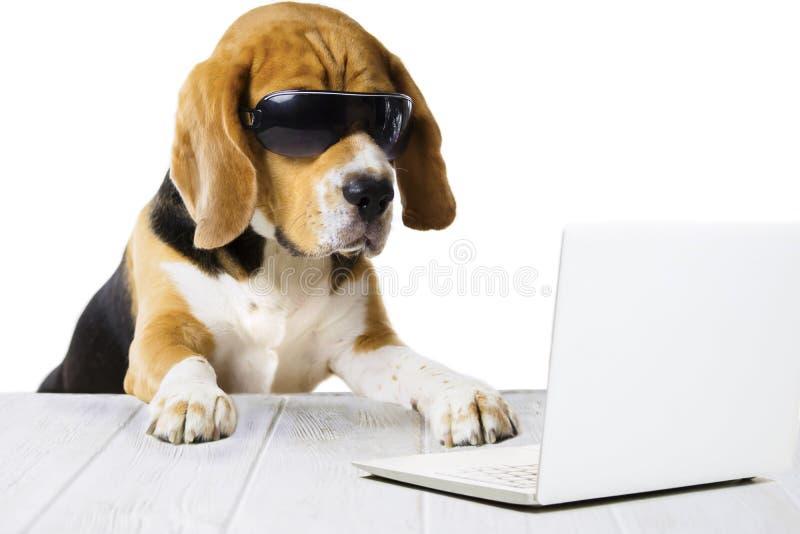 Unny jest prześladowanym beagle, pracy w laptopie przy stołem obraz stock