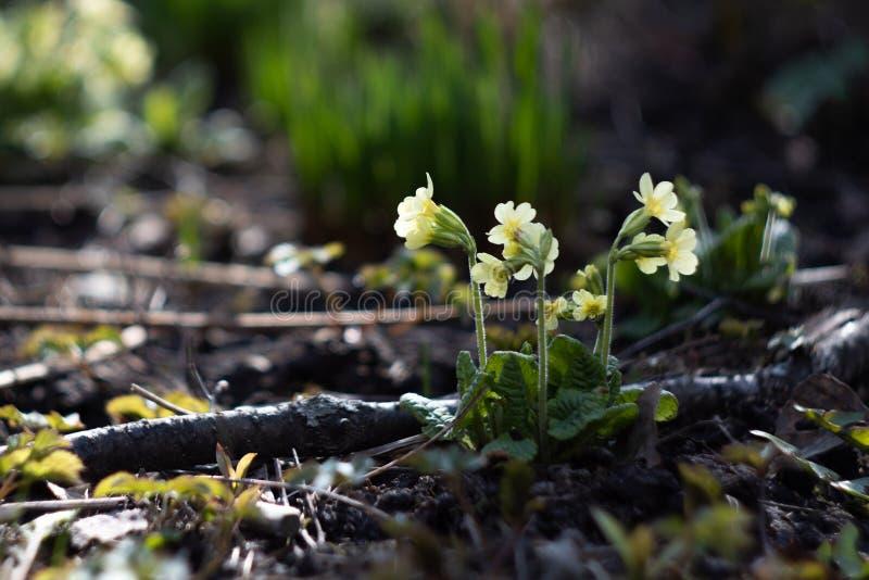 Uno dei primi fiori nei parchi di San Pietroburgo immagini stock