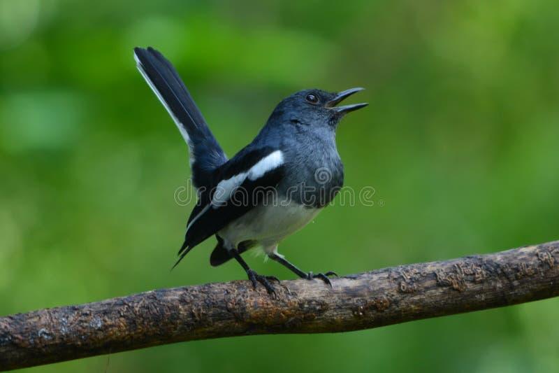 Uno del pájaro lindo en Sri Lanka fotografía de archivo