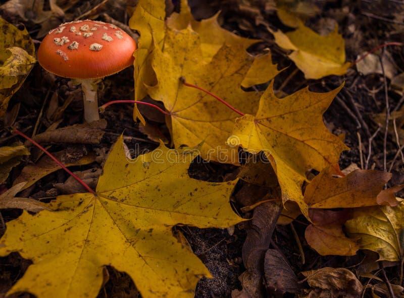 Uno della maggior parte del muscaria dell'amanita dei funghi velenosi, conosciuto comunemente come l'agarico di mosca immagine stock libera da diritti