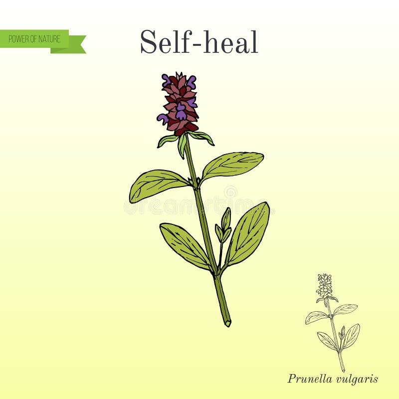 Uno mismo-cure el Prunella vulgaris, o la valeriana, planta medicinal ilustración del vector