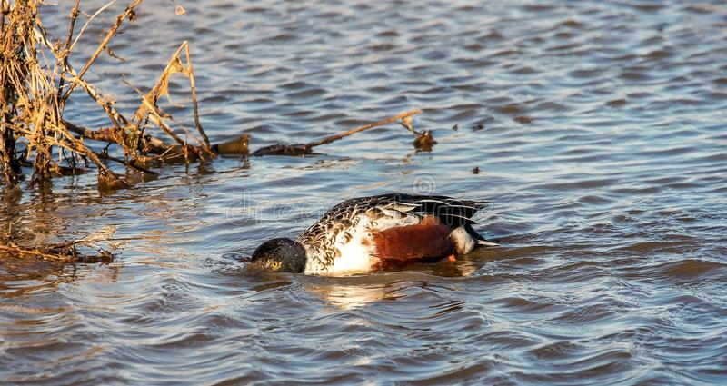 Uno observó el pato abierto del pato cuchara septentrional fotografía de archivo libre de regalías