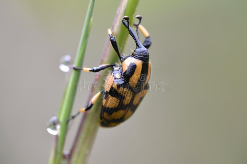 Uno scarabeo stercorario fotografia stock