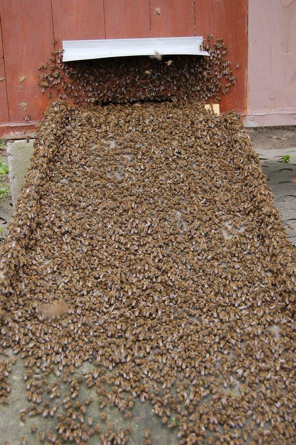 Uno sciame degli api immagini stock