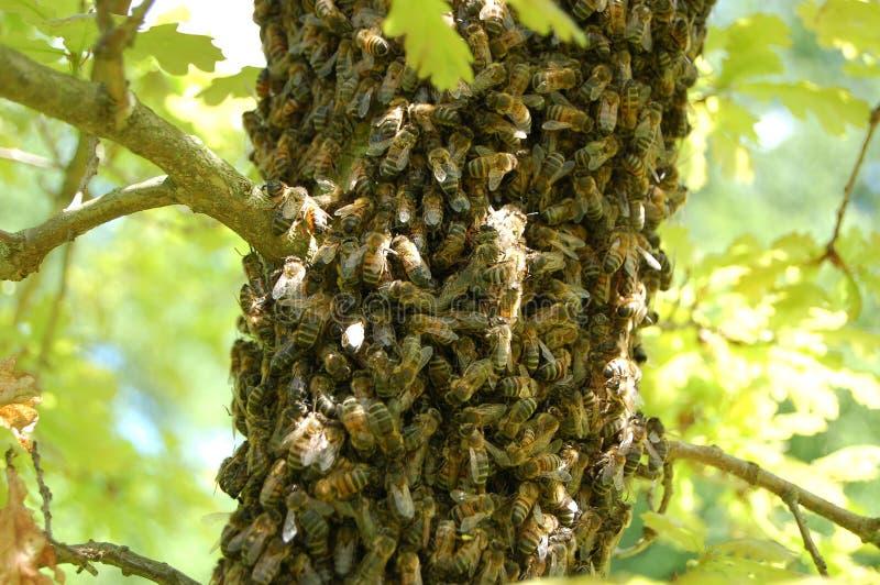 Uno sciame degli api su un albero di quercia immagine stock