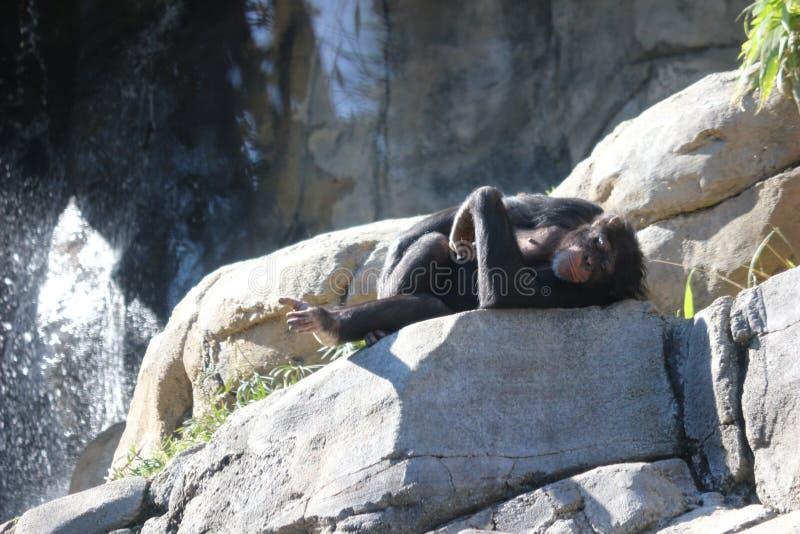 Uno scimpanzè che si rilassa su una roccia fotografia stock